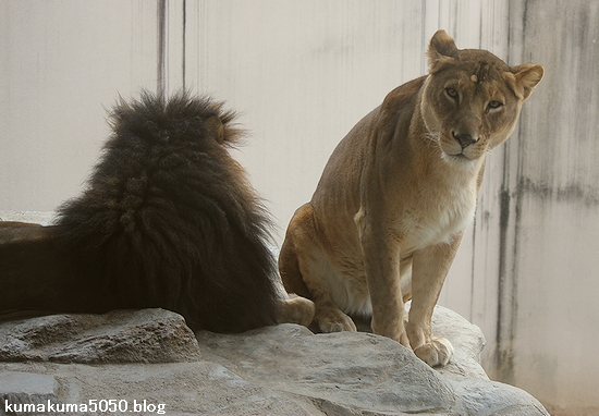 ライオン_515