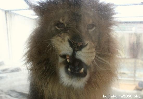ライオン_518