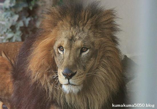 ライオン_533