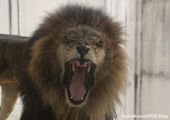 ライオン_531