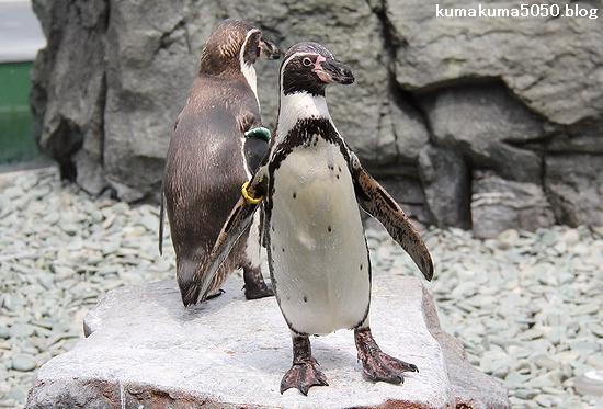 フンボルトペンギン_51