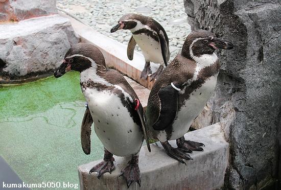 フンボルトペンギン_48