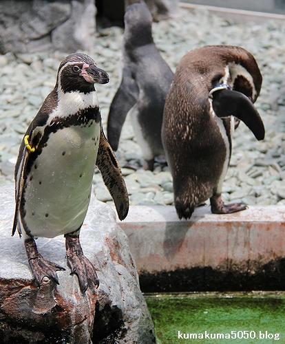 フンボルトペンギン_53