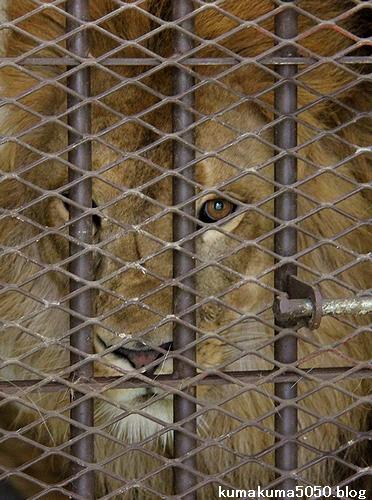 ライオン_544