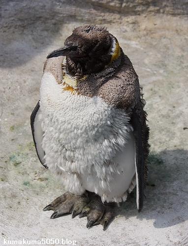 キングペンギン_16