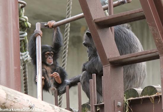 チンパンジー_3