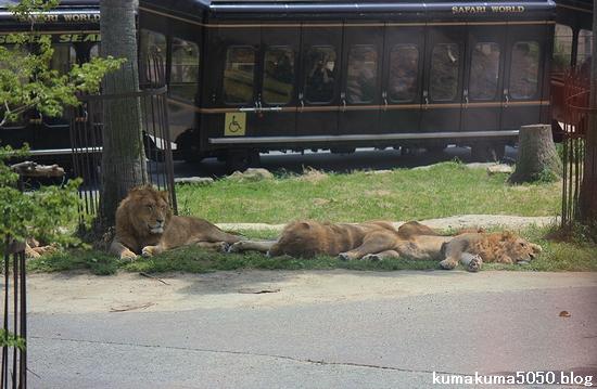 ライオン_565