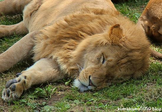 ライオン_575