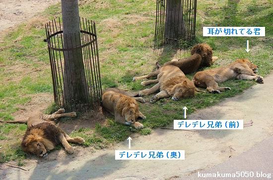 ライオン_572