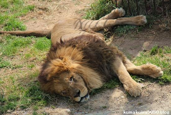 ライオン_576