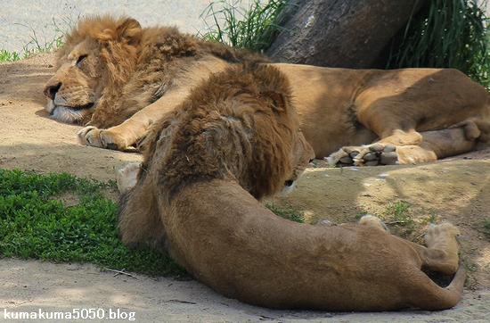 ライオン_582