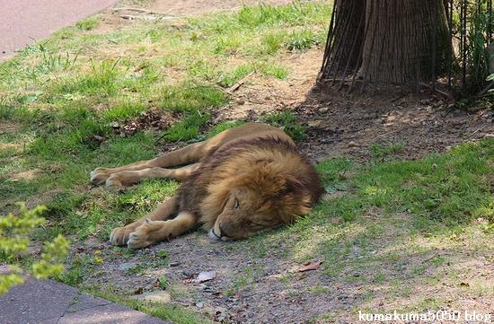 ライオン_577