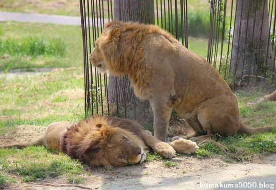 ライオン_600