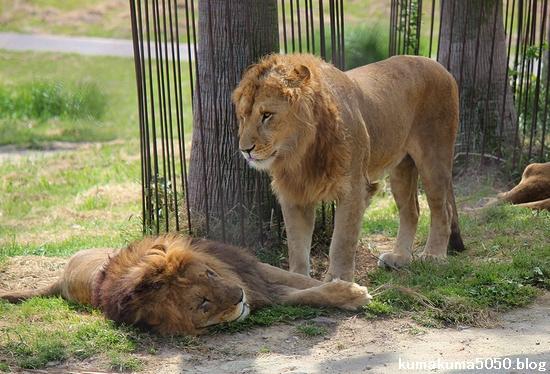 ライオン_595