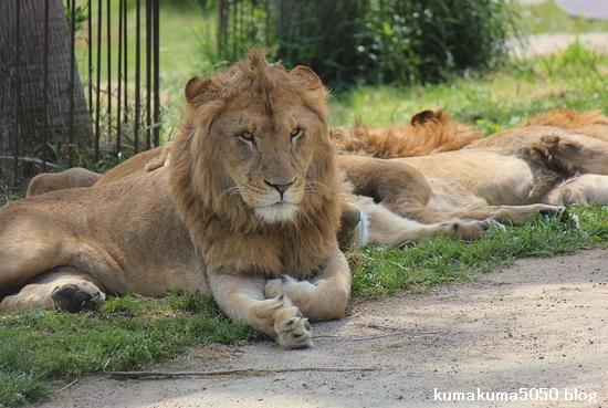 ライオン_611