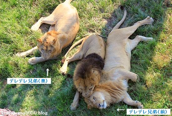 ライオン_626