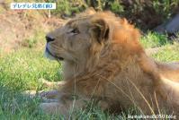ライオン_630