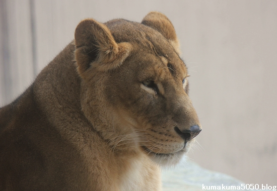 ライオン_649