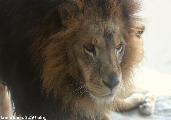 ライオン_647