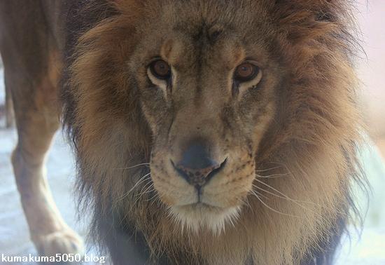 ライオン_648
