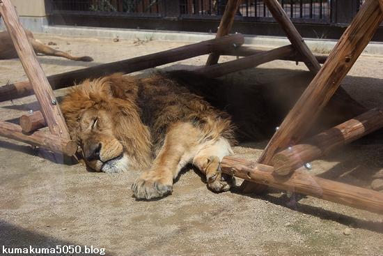 ライオン_651