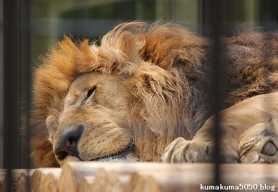 ライオン_655