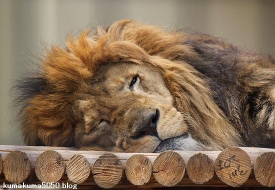 ライオン_654