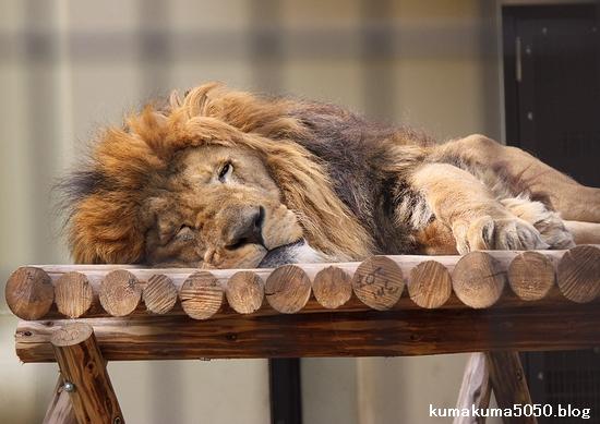 ライオン_652