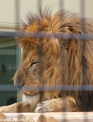 ライオン_662