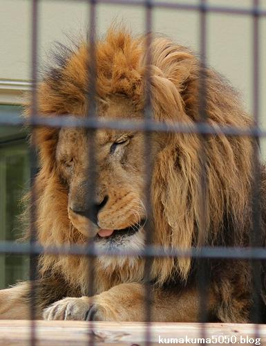 ライオン_659