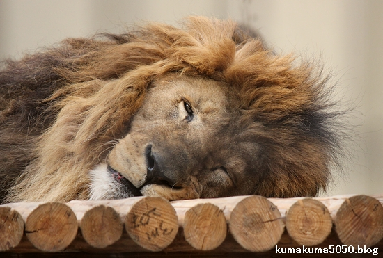ライオン_666