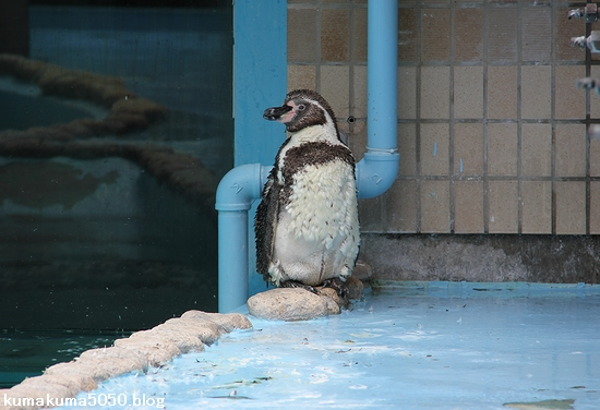 フンボルトペンギン_69