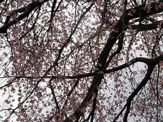 23日 桜
