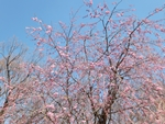nijinosato-20120407-09s.jpg