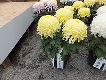rakujyuen20111112-11s.jpg