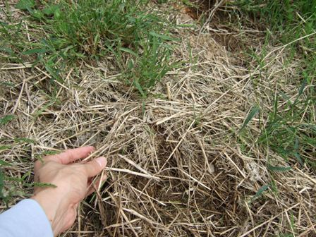 掘ってみると刈った草が堆積して土になっています。