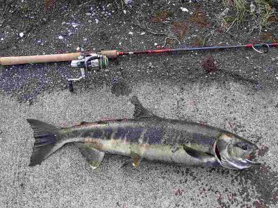 ブラーで釣れたメス鮭