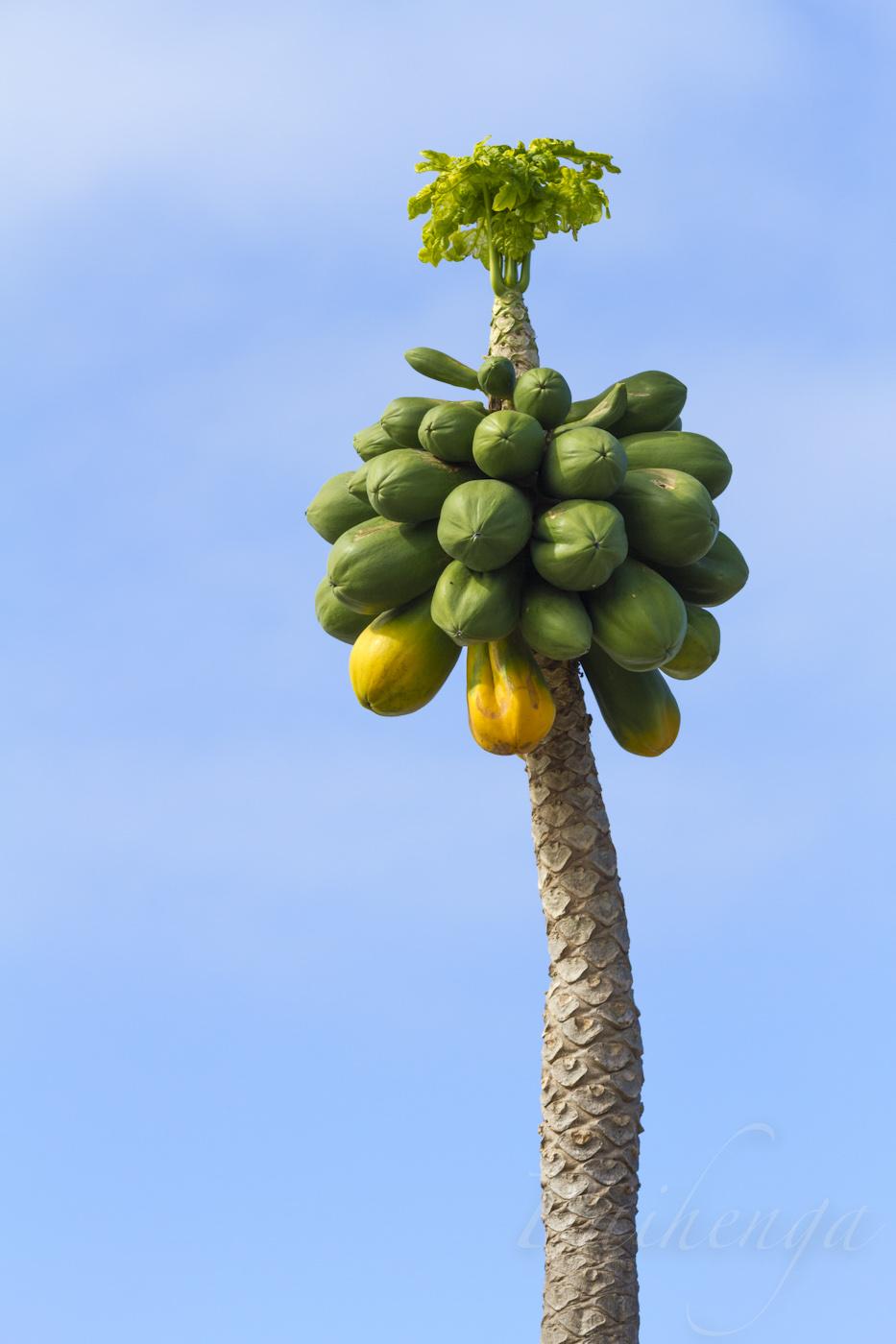 papaya01.jpg