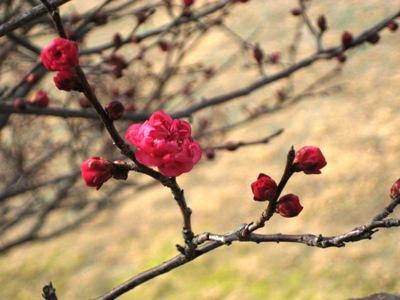 梅の木2012.2.2