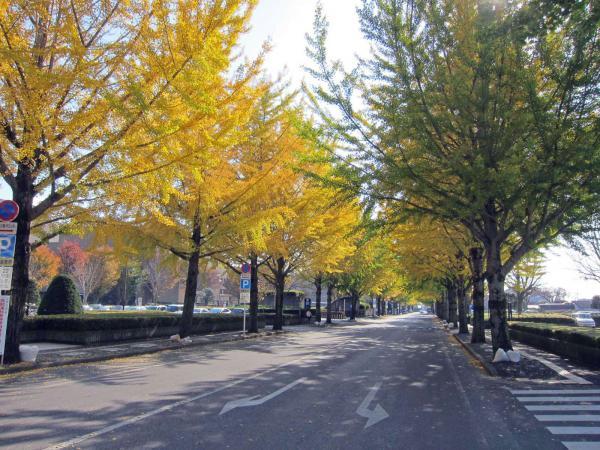 明保野町の銀杏並木