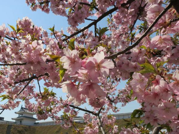 宇都宮城址公園の河津桜