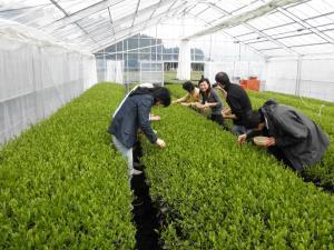温室 茶摘み