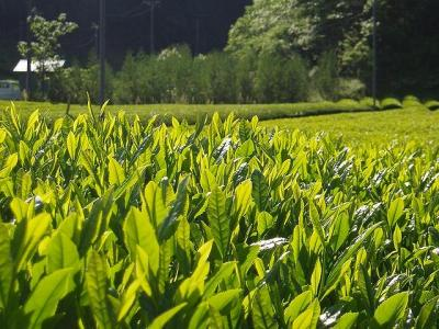 s-森内茶農園 茶畑1