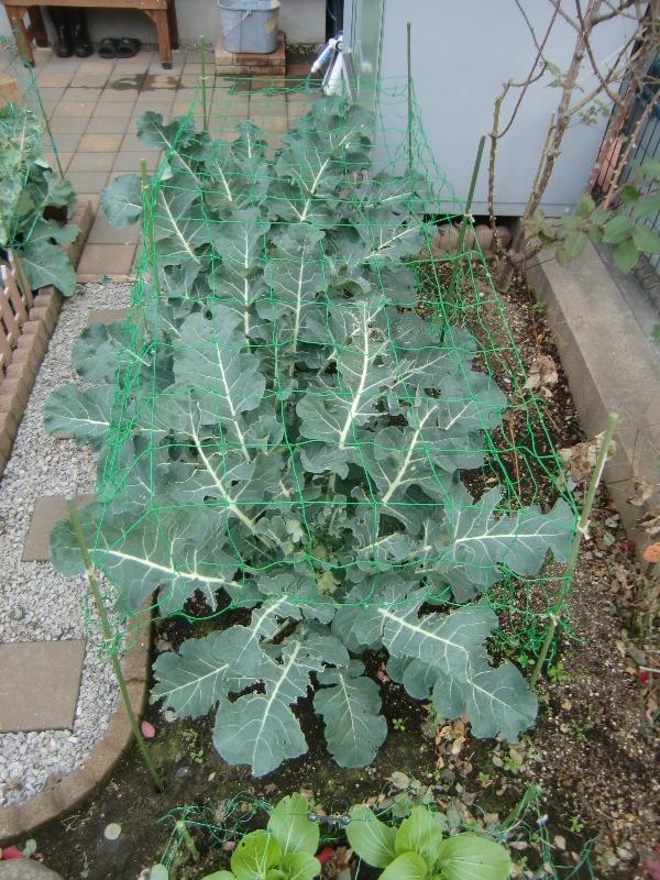 141216broccoli
