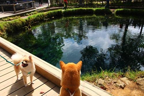 クウちゃんとお出かけ(忍野八海・山中湖湖畔散歩)