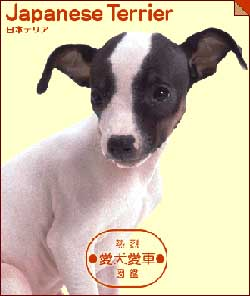japaneseterrier.jpg