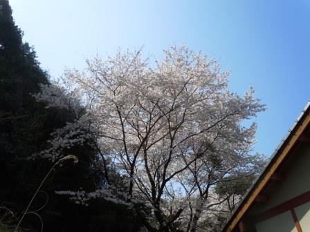 桜12(2019-03-30)