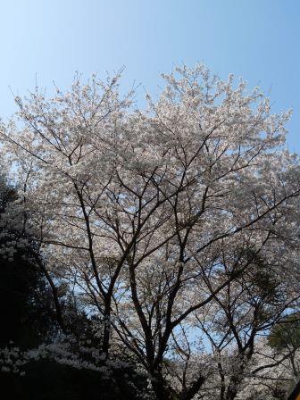 桜13(2019-03-30)