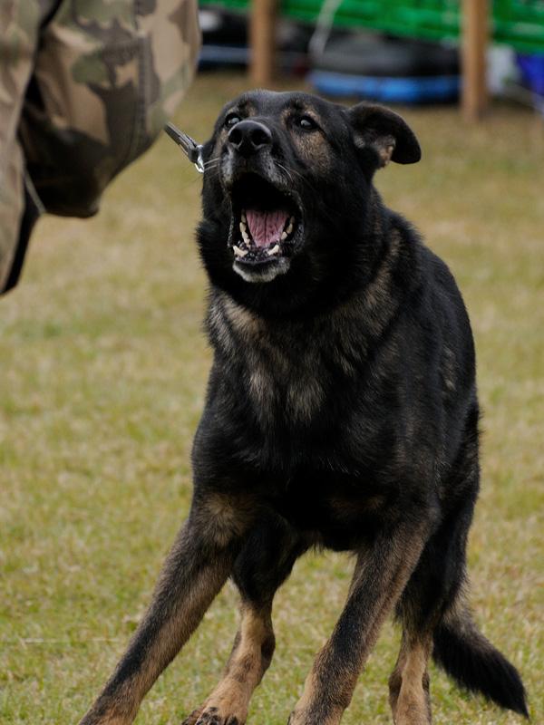 警備犬展示