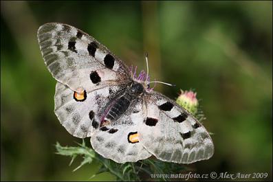 apollo-butterfly-xxximg_4753mw.jpg